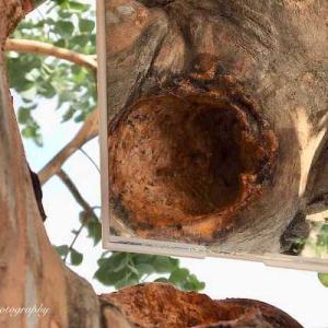 剪定失敗!腐って大きな穴が空いてしまった樹木(ユーカリ)の治療に挑戦(前編)