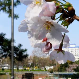 2019桜を追いかけて(その1)