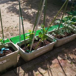 野菜の収穫 2021