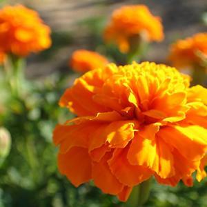 「マリーゴールドの花畑」行きジョグ