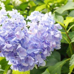 紫陽花パフェと三室戸寺~一人ドライブ♪