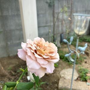 カフェラテ色の可愛いバラが咲きました。