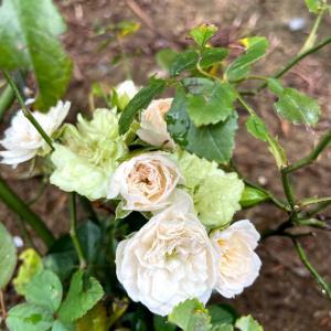 アーチのつるバラが伸び放題の、今朝の庭
