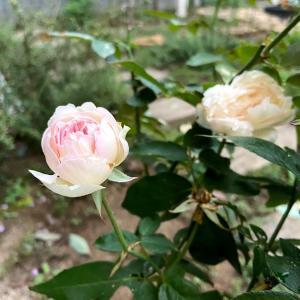 秋バラの香り