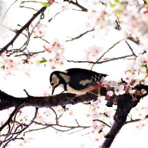 桜の季節パート5 人生を楽しんで乗り切る