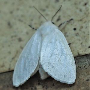 白い蛾、幸運 人生を楽しんで乗り切る