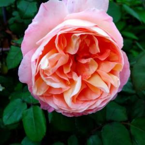今日の一輪「薔薇・レディ・エマ・ハミルトン」