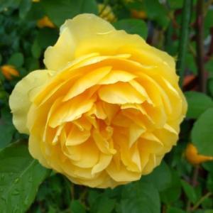 今日の一輪「薔薇 グラハム・トーマス」