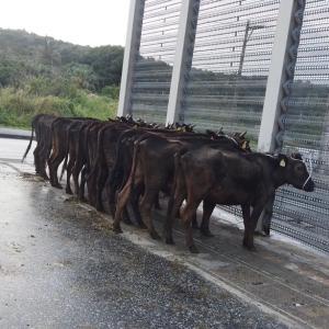 与那国牛出荷、、、