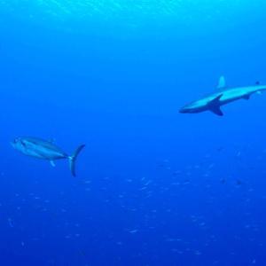 サメ・マグロ・サワラのコラボ