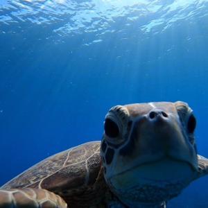 カメラ目線のアオウミガメ