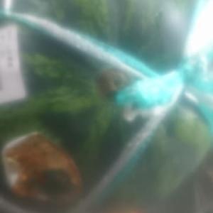 西瓜 好きです