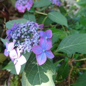 今日の庭のお花は  「山アジサイ」