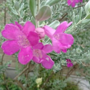 レウコフィラム 咲き始めました。。。