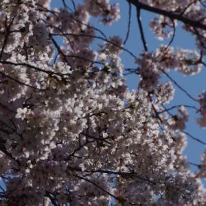 桜満開(画像多数)