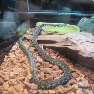 ヘビを食べる