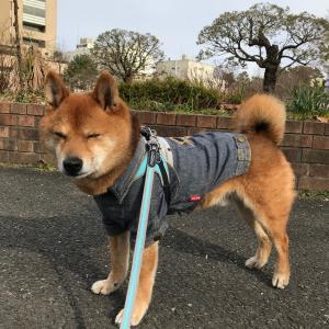 白柴Kokoちゃんとデート