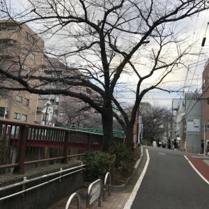 西郷山公園柴散歩 河津桜が満開