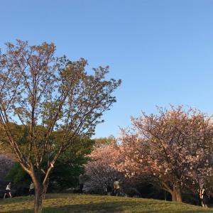 西郷山公園柴散歩 一葉桜が咲いていた