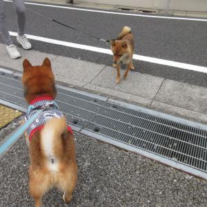 中目黒公園柴散歩 すっきりしない天気でした
