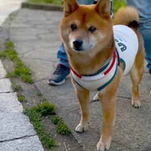 西郷山公園柴散歩 夕方の散歩