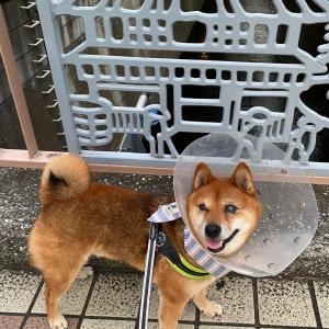 夕方散歩 久しぶりのハスキー犬