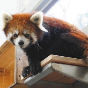 東山動植物園/レッサーパンダ繁殖期待