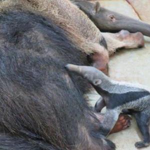千種区/オオアリクイ赤ちゃん・東山動植物園