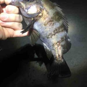 新ポイントで、メバル数釣り<博多湾釣行記 VOL.11>