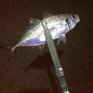 まずまずのサイズのアジ!(博多湾釣行記VOL.25)