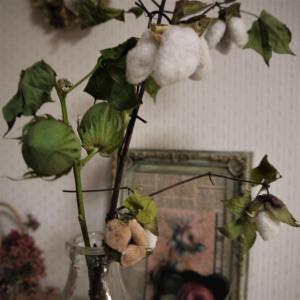 咲いたバラ~♪ 綿の収穫!!
