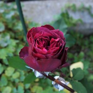 やっと咲いた薔薇は!! 手作りです~~♪