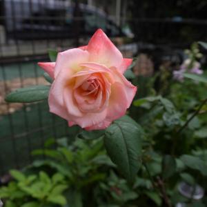 復活した丹頂のバラ~♪  クレマチスの2番花^^