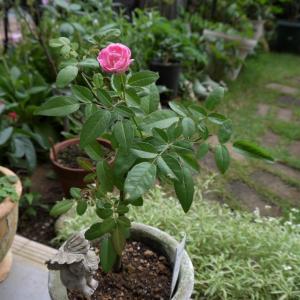 今日のお庭の様子~♪  綿のお花^^