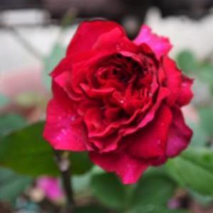 ベルベティトワイライト    スィートアリッサムの開花~♪