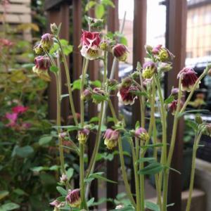 今日のお庭の様子~♪ ピンクペチコートさんが咲きました~♪