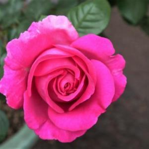 やっと咲いてきたバラ~♪   母の日に・・