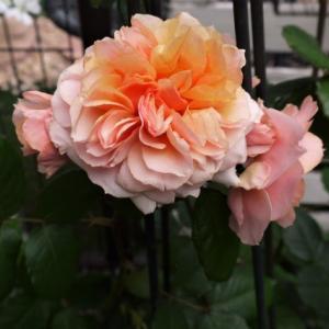 今年のバラの様子は!!   アストランチアのお花♡