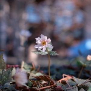 早春の花 牧野記念庭園(2/23)