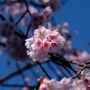 寒桜に梅 牧野記念庭園(2/23)