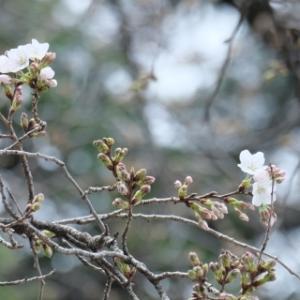 咲き始めた桜 北野天神社