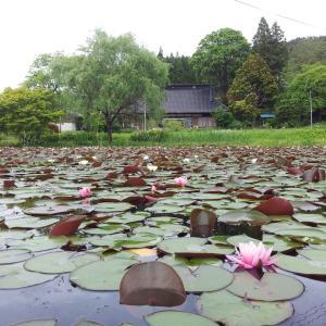 ☆睡蓮咲き誇る「根岸のため池」☆