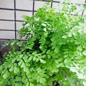 アジアンタムと紫陽花