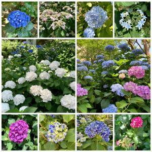 ↻ #031 名勝 縮景園と紫陽花