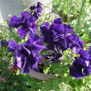 咲き始めた初夏の花たち