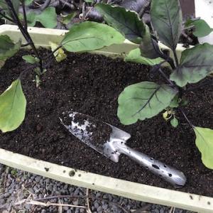 今年もナスは購入苗2株をプランター栽培で