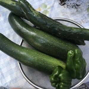 夏野菜の収穫開始!!