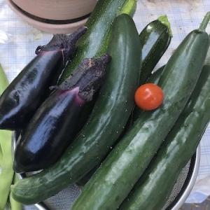 今年の小樽は気温が高く真夏日が多いです。そのおかげか夏野菜は元気