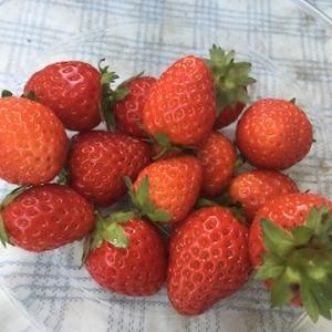 【栽培記録】今年のイチゴは、これまでで一番の成果でした