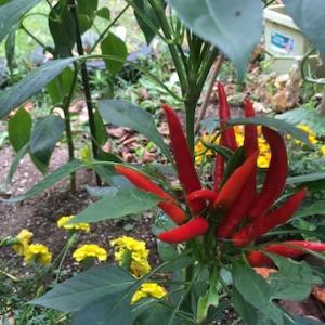 この時期にミニ畑に真っ赤な彩を添えてくれる鷹の爪